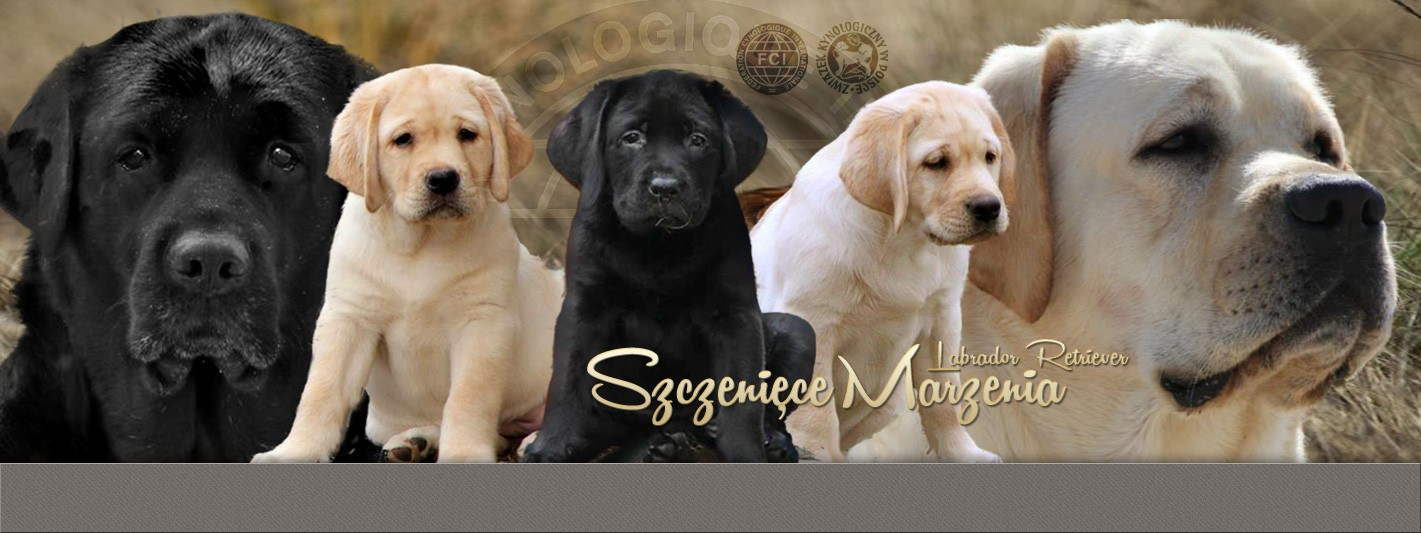 Breeders of Quality Labrador Retrievers breed for incredible health, intelligence, disposition, etc. We have Hunting Retrievers, Service Dogs, Search & Rescue Dogs