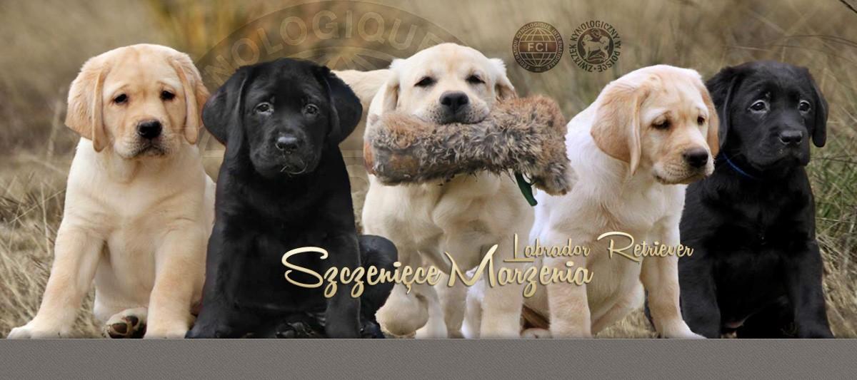 Bardzo dobra Zanim kupisz labradora | Hodowla Labrador Retriever Szczenięce ME43